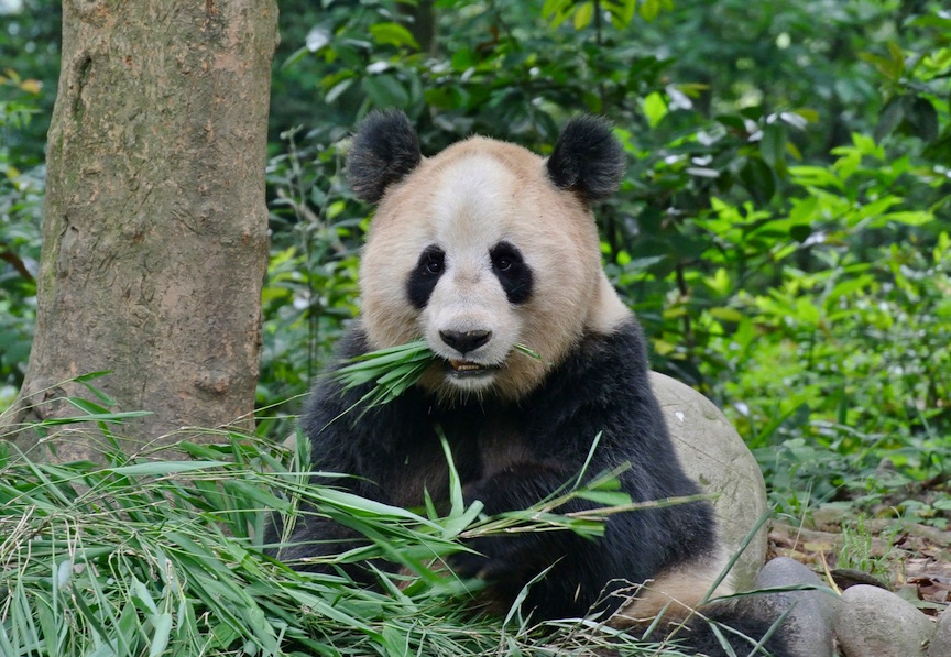 Pandas' share of protein calories from bamboo rivals wolves' from meat